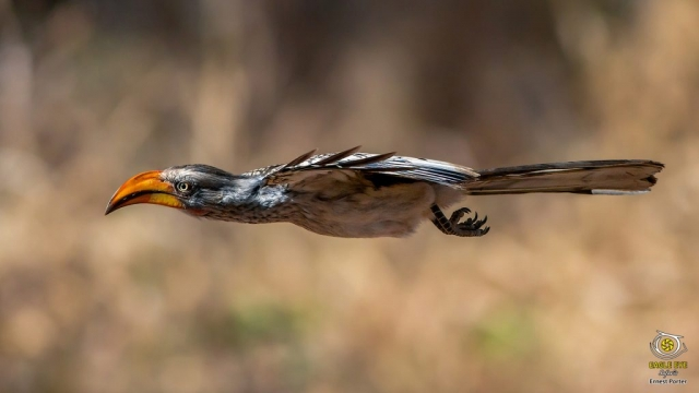 Zazo on the go (Southern Yellow-billed Hornbill)