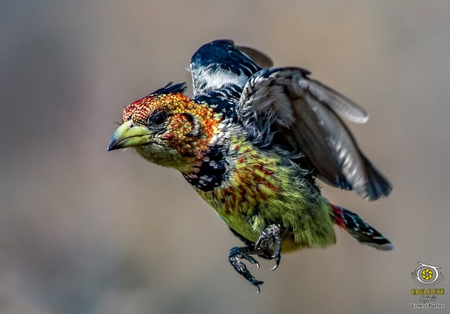 On the Move (Crested Barbet)