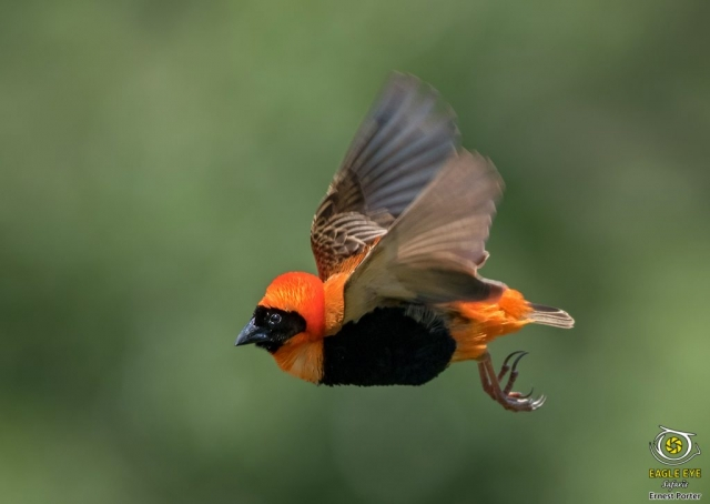 Flying Neon (Southern Red Bishop)