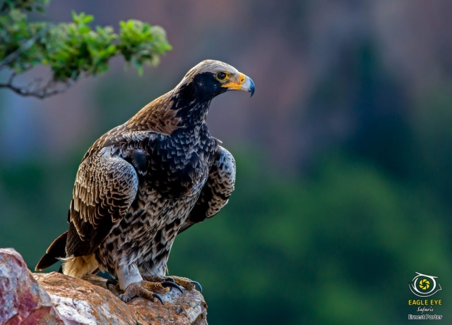Nessi on the rock (Verreaux's Eagle)