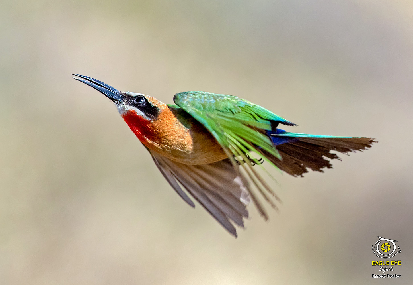 Scruffy Tail (White-fronted Bee-eater)
